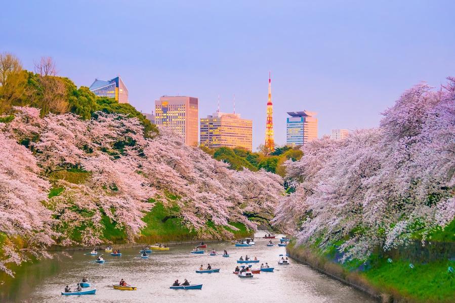 Sakura ou les cerisiers en fleur du Japon